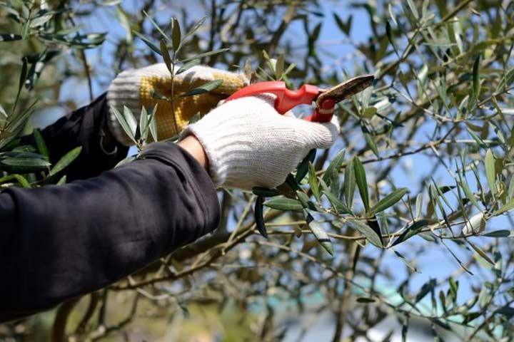 corso potatura olivi frutto foligno